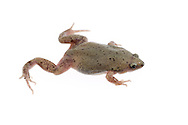 Narrow-mouthed Toad (Gastrophryne sp.)<br /> captive individual