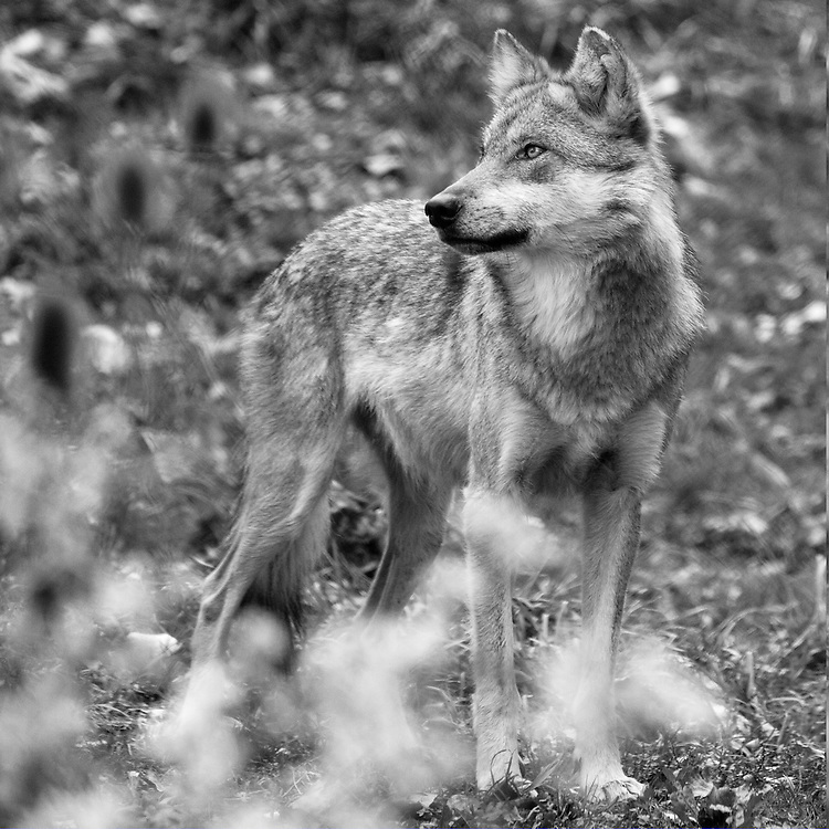Soul Survival: Mexican Gray Wolf (Scientific name: Canis lupus baileyi)<br /> Least Concern/Species Survival Plan