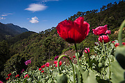 El CALVARIO, MEXICO - AUGUST 5, 2015: Opium poppy flowers in a field hidden into a gully in the mountains close to the Chilpancingo city, the capital of the state of Guerrero, Mexico.  Rodrigo Cruz for The New York Times