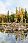 American Beaver (Castor canadensis) lodge, Seeley Lake, Montana