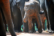 Pinnawala Elephant Orphanage in Sabaragamuwa Province of Sri Lanka. <br /> <br /> For the conscious visitor, a strange and uncomfortable feeling arises during the visit, as it can be easily mistaken with a zoo or a profitable business, which makes it hardly recommendable. <br /> <br /> Some animal welfare associations, such as Born Free, and elephant experts show strong disagreement with the management and request changes in the level of care, with concerns about chaining, transfers, breeding and the encouragement of visitors by the keepers to have direct contact with the animals, mainly motivated by the exchange of tips and not always positive for the elephant&yen;s wellbeing.