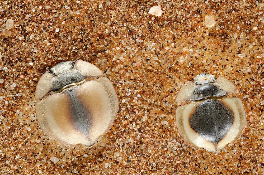 Der an manchen Tagen vom Meer her weit landeinwärts ziehende Seenebel ist für die Wüstenbewohner der Namib eine lebenswichtige Wasserquelle. Basierend auf den extrem seltenen und nur sehr lokalen Regenfällen ist ein Überleben kaum möglich, daher betätigen sich Pflanzen und Tiere in dieser heißen Region als Nebelfänger. Diese abgeflachten Käfer der Gattung Lepidochora (im Bild zwei verschiedene Arten) strukturieren den Sand durch Gräben und Aufhäufelung derart, dass der Nebel daran kondensiert und sie die Feuchtigkeit aufnehmen können. Die heiße Zeit des Tages verbringen die  Käfer wie die meisten ihrer dünenbewohnenden Verwandten vergraben im Sand - eine weitere Strategie, um mit dem knappen Wasser zu haushalten.