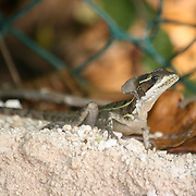 A Jesus Christ lizard warms itself in the sun of the Mexican Yucatan.