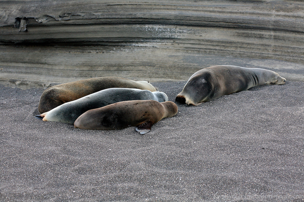 South America, Ecuador, Galapagos Islands, Santiago Island, James Island, Port Egas. A Sea Lion family resting on the beach at Santiago Island.