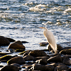 A breeding adult Ardea Alba with backlit plumes in Turtle Bay on the Sacramento River in Redding, California.
