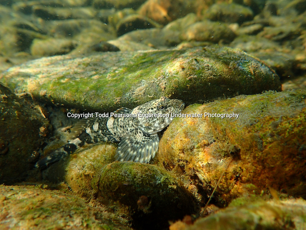 Mottled Sculpin<br />