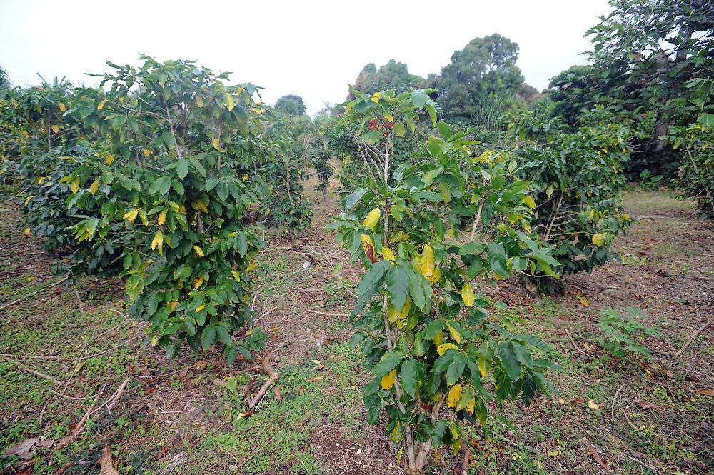 Coffee trees growing on Tinopai Farm, Pacific Mission 2012, Nuku'alofa, Tonga, Tuesday, July 24, 2012. Credit:SNPA / Ross Setford