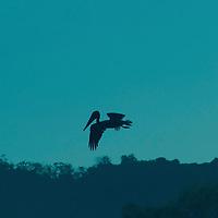 Brown pelican in flight, preparing to dive, silhouetted against a blue sky at dawn. Brown pelican, Pelecanus occidentalis.
