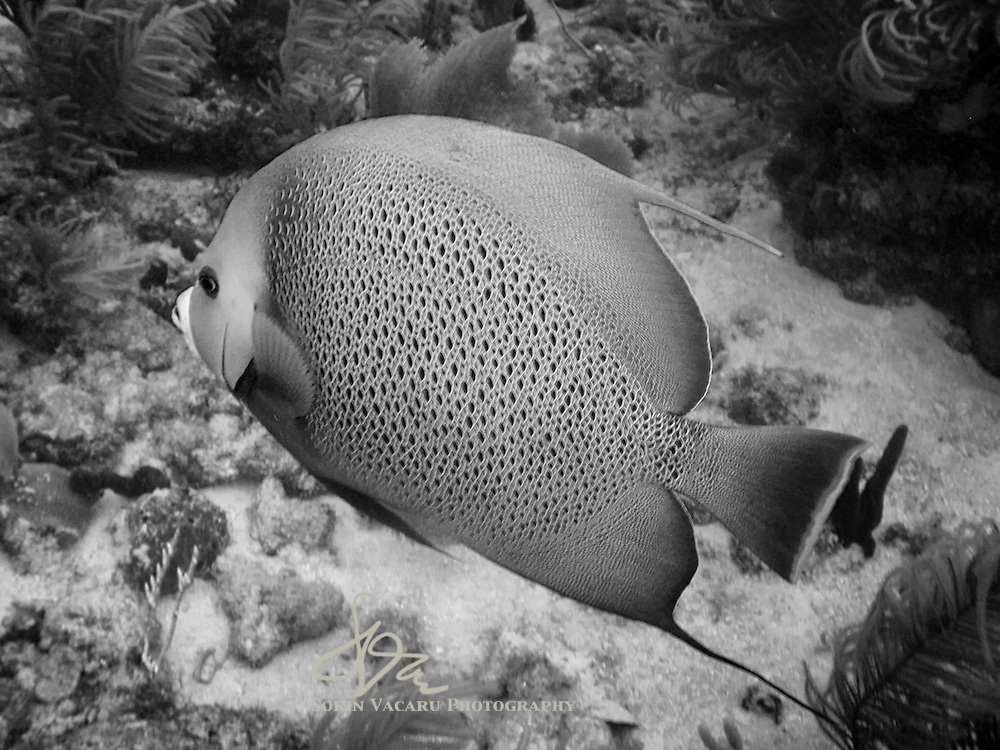 Grey Angelfish gently swimming by the camera