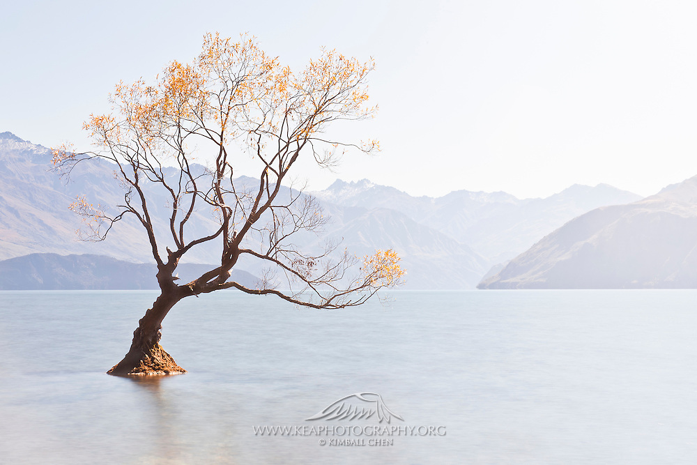 Gold does grow on trees!  (Autumn at Lake Wanaka, Central Otago, New Zealand)