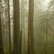 Del Norte Coast Redwood State Park, fog, trees, California