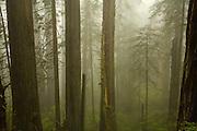 Del Norte Coast Redwood State Park, fog, trees, California