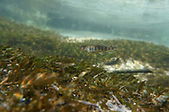 Brook Trout (juvenile)<br />