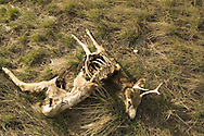 Dead Mule Deer. Shows sign of being feed upon by scavengers