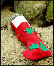 NOV 21 2013 Meerkats Christmas stockings Whipsnade Zoo
