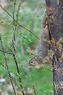 Fox Squirrel (1413)