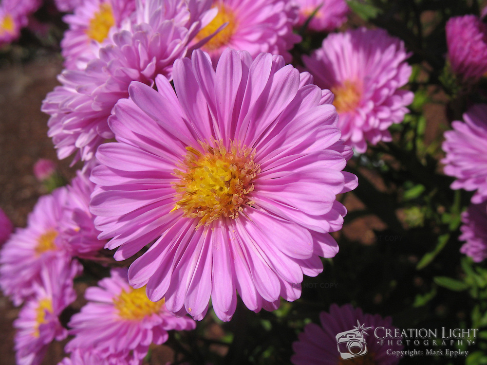 Pink aster flowers creation light photography - Flowers native to greece a sea of color ...