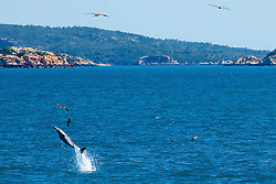 A dolphin leaps out of the water on the spectacular Kimberley coast.