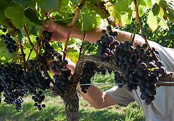 Farm worker prunes merlot grape vines in vineyard./ Lidio Carraro fazendo raleio em videiras de uva merlot. Ano/Year 2010