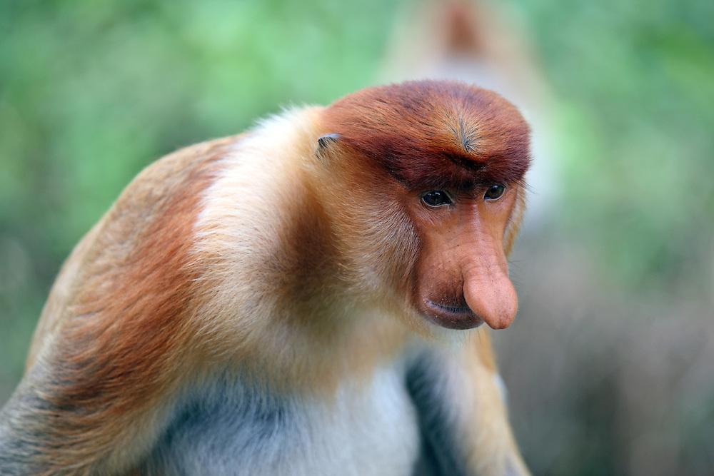 Proboscis monkey in Sabah, Borneo