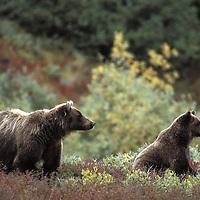 Grizzly Bear, Ursus arctos, in Alaska wilderness