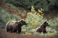 Grizzly Bear, Ursus arctos, in Alaska wilderness