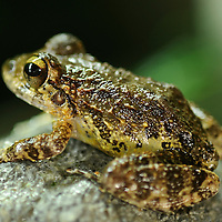 In recent years, conservation biologists have drawn our attention to a worldwide decline in wild populations of frogs, toads, and salamanders - a phenomenon that has come to be called the Global Amphibian Crisis.  While habitat loss is still considered the most serious threat to the majority of species, especially in the humid tropical forest regions of the world, a fungal disease known as chytrid has been identified as being exceptionally deadly to amphibians, while not seeming to affect other groups of vertebrates - fish, reptiles, birds and mammals. A frog-killing fungus in Central and South America spreads in waves like other infectious diseases, challenging a theory that climate change is to blame. El Valle Amphibian Rescue Center in El Valle de Anto?n en Panama?. In response to this need, the Houston Zoo established the Center in central Panama. Craugastor punctariolus.Stream side rainfrog.