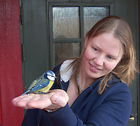 The Blue Tit, Cyanistes caeruleus, is a 10.5 to 12 cm (4.2 to 4.8 inches,) long passerine bird in the tit family Paridae. It is a widespread and common resident breeder throughout temperate and subarctic Europe and western Asia in deciduous or mixed woodlands. It is a resident bird, i.e., most birds do not migrate...The Blue Tit, Cyanistes caeruleus, is a 10.5 to 12 cm (4.2 to 4.8 inches,) long passerine bird in the tit family Paridae. It is a widespread and common resident breeder throughout temperate and subarctic Europe and western Asia in deciduous or mixed woodlands. It is a resident bird, i.e., most birds do not migrate.......Woman holding blue tit in her hands.