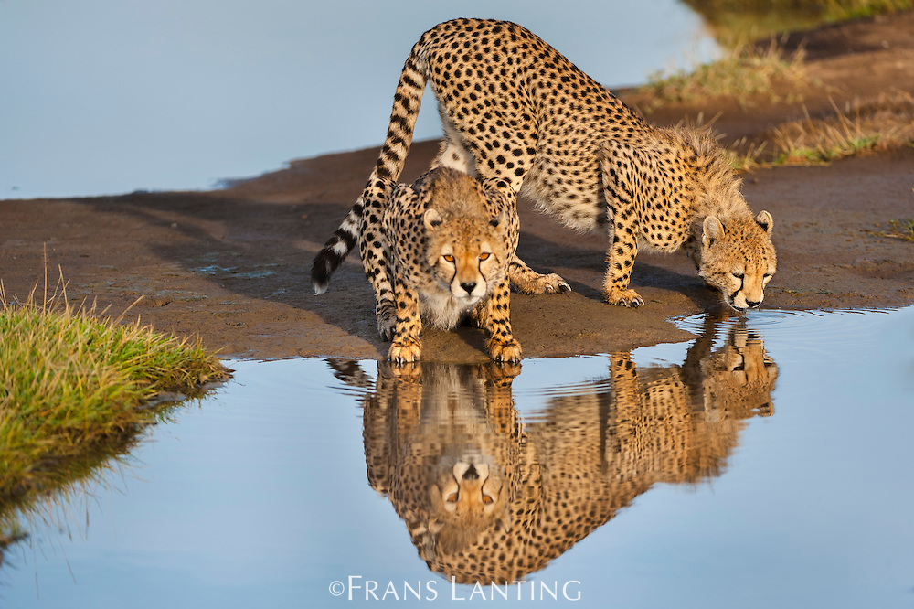 Cheetahs drinking, Acinonyx jubatus, Serengeti National Park, Tanzania