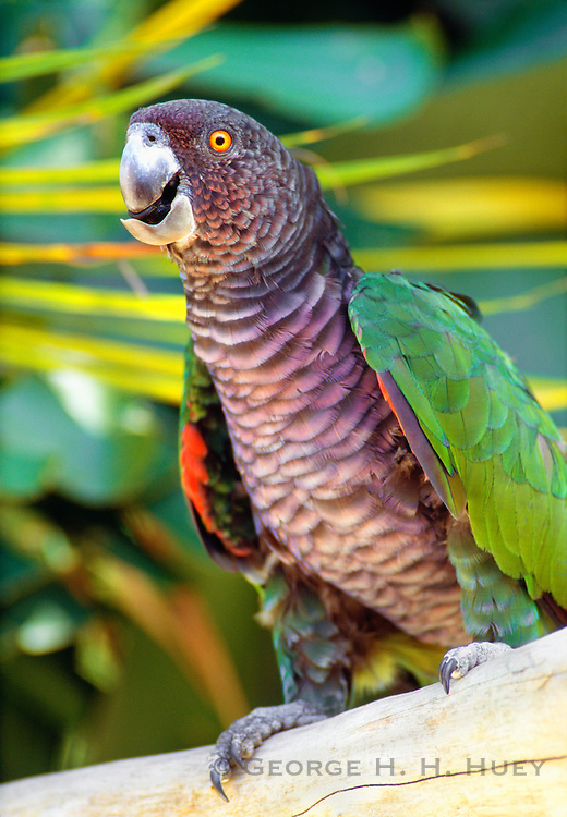 356203-1081 ~ Copyright:  George H. H. Huey ~ The endangered Sisserou parrot [Amazona imperialis], or imperial parrot, is the national bird of Dominica.  Only 60 may be left in the wild.  Dominica.  Caribbean.