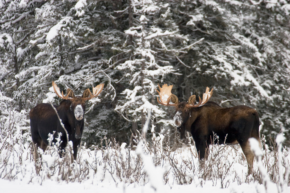 Two bull moose with large antlers browse the willow, getting their snouts snow, in Glacier Bay.