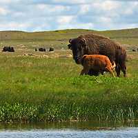 A bsion calf nurses by a wetland pond in the Great Plains of Montana at American Prairie Reserve. South of Malta in Phillips County, Montana.