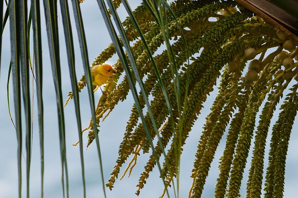 This Saffon Finch (Sicalis flaveola) tries to feed on premature palm tree blossoms on Kona, Big Island of Hawai'i.