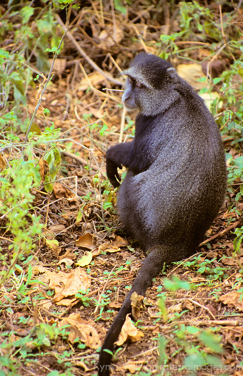 Africa, Tanzania, Lake Manyara. A solitary baboon.