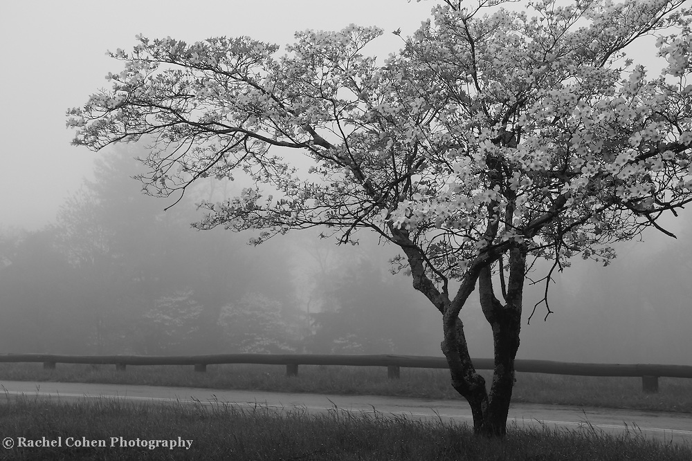 &quot;Dogwood in Fog&quot; mono<br /> <br /> Lone Dogwood Tree at Dickey Ridge in Shenandoah National Park in springtime.<br /> <br /> All About Fog by Rachel Cohen