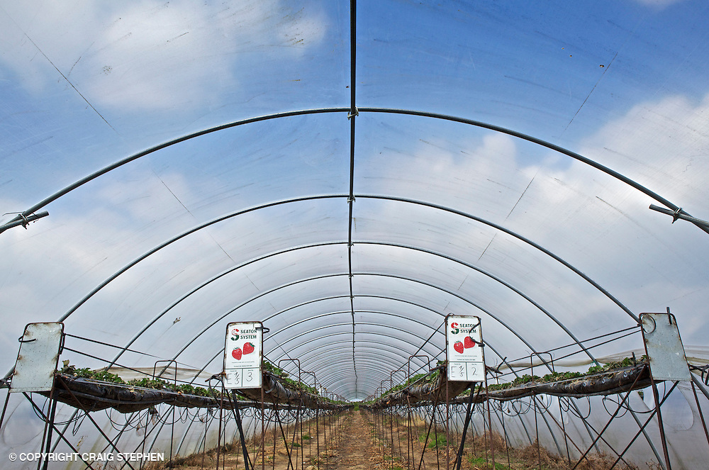 Strawberries growing in a polytunnel