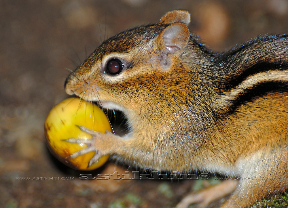 Close-up shot of a cute chipmunk holding an acorn in its paws.