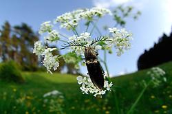 Der bis zu 1,8 cm lange Metallglänzende Rindenschnellkäfer (Ctenicera pectinicornis) ist eine Art aus der Familie der Schnellkäfer (Elateridae). Alle Arten aus dieser Familie besitzen einen kleinen Fortsatz sowie eine Kerbe an der Unterseite des Thorax. Kommen diese Käfer nun versehentlich auf dem Rücken zu liegen, können sie durch das Eindrücken des Fortsatzes in die Kerbe in die Luft schnellen und auf der Bauchseite landen.   A click beetle (Ctenicera pectinicornis)