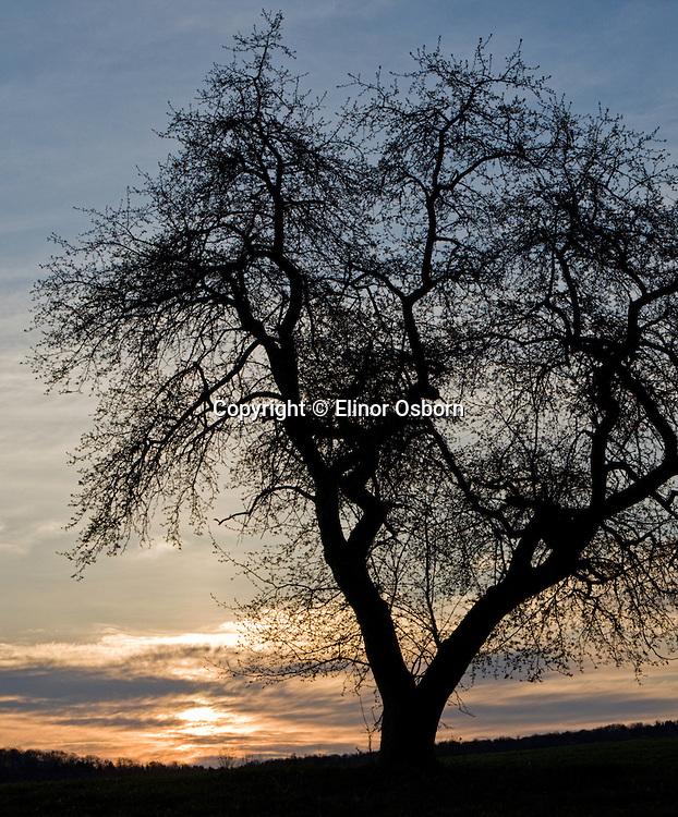 Apple Tree at sunrise