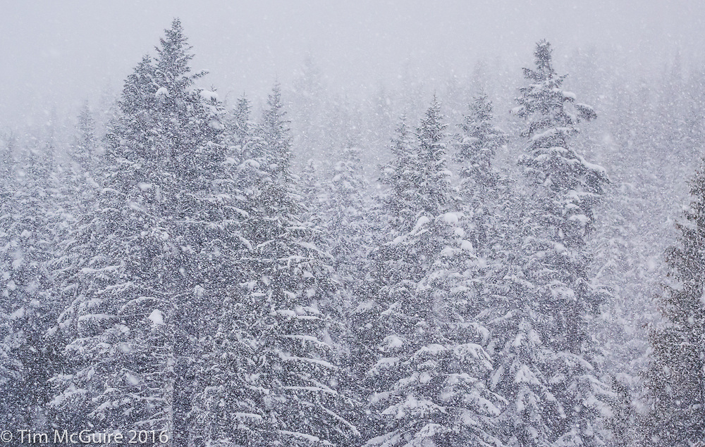 Snowy forested mountainside above Crystal Mountain ski resort, Washington.