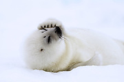 Harp Seal (Pagophilus groenlandicus) East Greenland