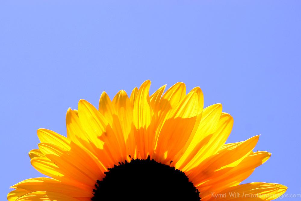 Sunflower rising in Sky
