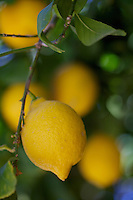 Lemons growing outside of Borrego Springs, California