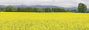 mustard, cover crop