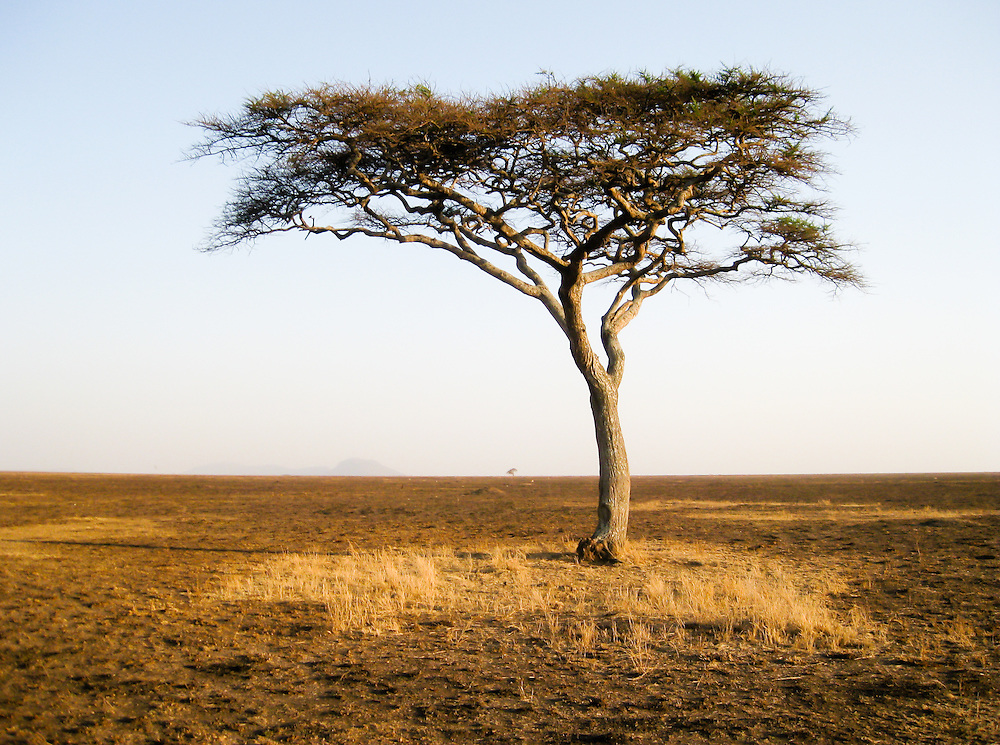 Lonely african tree in the Serengeti, Tanzania