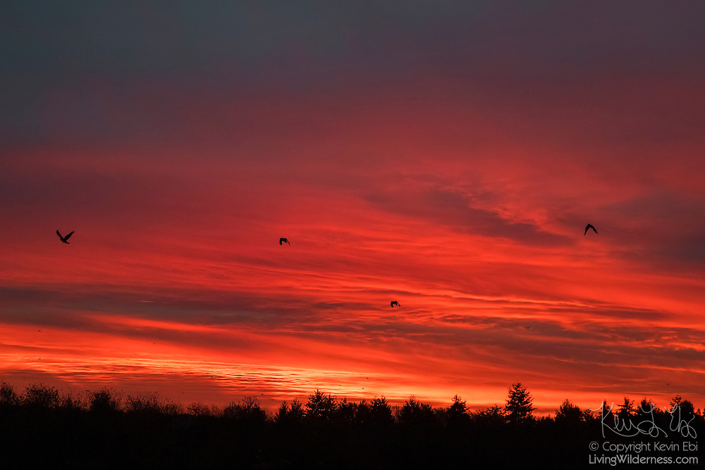 Several American crows (Corvus brachyrhynchos) take off against a fiery sky just before sunrise at their roost site in Bothell, Washington.