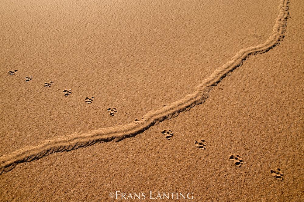 Golden mole tracks, Eremitalpa granti, crossing bird tracks, Namib-Naukluft National Park, Namibia