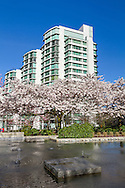 Akebono Cherry tree blossoms next to a fountain in the West End of Vancouver, British Columbia, Canada.  Photographed from the sidewalk of W. Georgia Street close to Stanley and Devonian Harbour Parks.