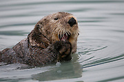Sea Otter in Valdez, Alaska