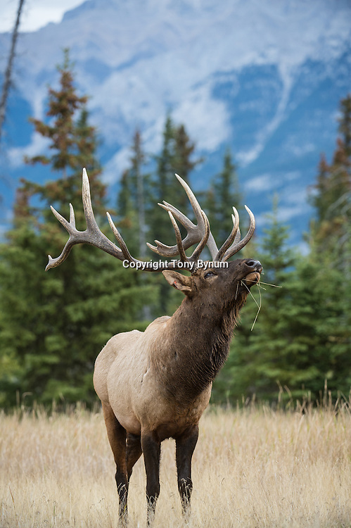 bull elk headback mean look